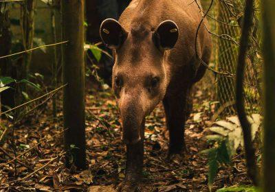 Anta nasce em reserva onde espécie estava extinta há mais de 100 anos